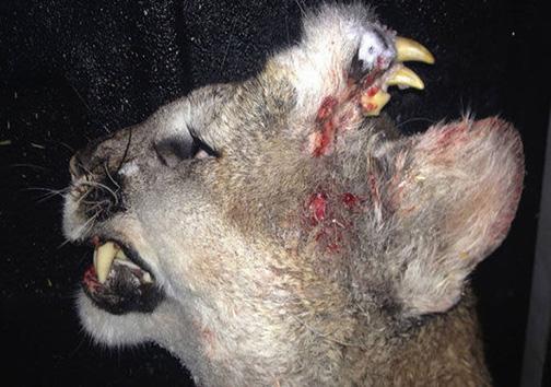 تصویر از حیوانی که در پیشانیاش دندان دارد! + تصویر