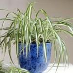 بهترین گیاهانی که با آنها میتوانید هوای خانه و محل کارتان را تصفیه کنید/فهرست تحقیقاتی ناسا