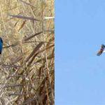 مشاهده ماهیخورک و عقاب دریایی دم سفید برای اولین بار در یزد