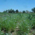 گیاه شناسی / سیاه دانه و موارد مصرف آن