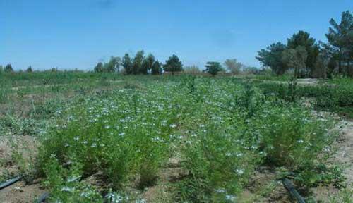 تصویر از گیاه شناسی / سیاه دانه و موارد مصرف آن