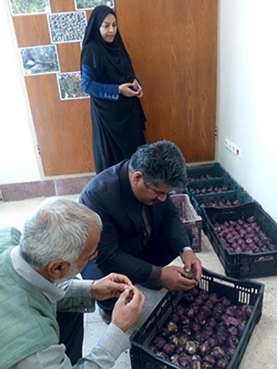 Photo of سومین دوره کلاسهای آموزشی با موضوع کاشت و پررورش گل سنبل در اداره جهاد کشاورزی میبد