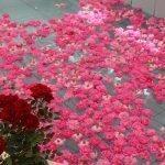 برگزاری جشنواره گل محمدی  در شهرک صنعتی جهان آباد میبد/ کاشت گیاهان کم آب خواه گامی موثر  و ارزشمند در بهینه مصرف کردن آب