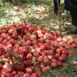 انارچینی در روستای مرور / بازدید اعضای شرکت تعاونی بانوان از فعالیتهای کشاورزی در روستای مرور