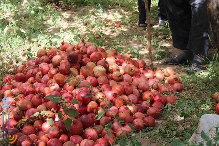 تصویر از انارچینی در روستای مرور / بازدید اعضای شرکت تعاونی بانوان از فعالیتهای کشاورزی در روستای مرور