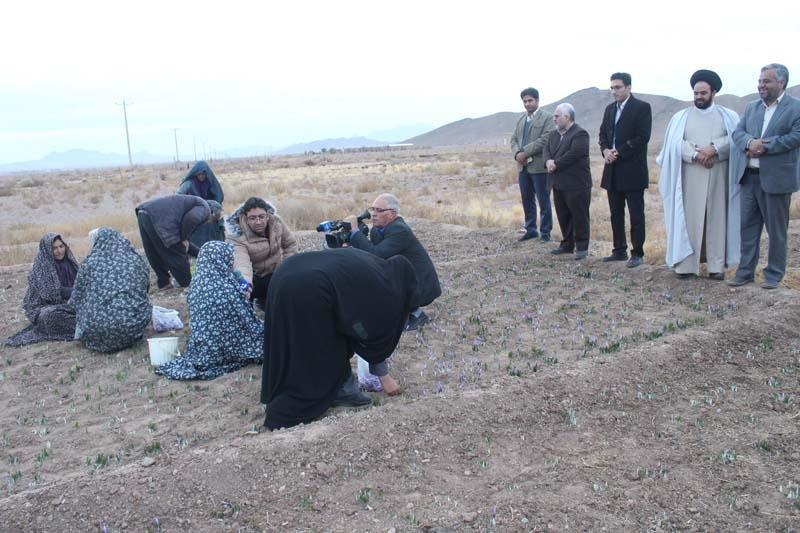 تصویر از ۹ هکتار از اراضی میبد، زیر کشت زعفران است