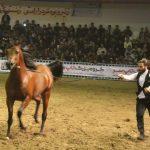 تصاویری از بیست و ششمین جشنواره ملی زیبایی اسب اصیل عرب (ایکاهو) در میبد