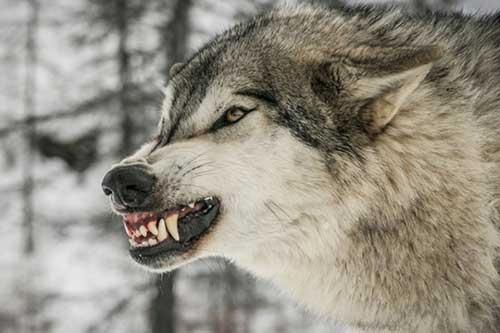 گرگ ها در ندوشن یزد ۶۱ راس گوسفند را از پای در آوردند