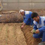 پیاز زیره سیاه و سیب زمینی به صورت آزمایشی در میبد کشت شد