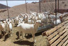 Photo of پرورش بز سانن ، مرغداری و زنبورداری در روستای مرور