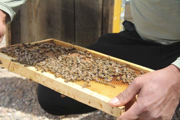 پرورش بز سانن ، مرغداری و زنبورداری