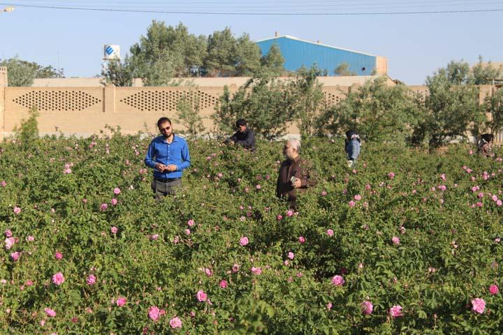 جشنواره گل مجمدی