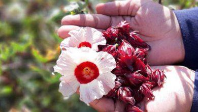 Photo of کاشت گیاهان دارویی کم آبخواه در میبد موفقیت آمیزاست