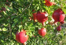 تصویر از برداشت انار در مهریز ۱۰ درصد کاهش یافت