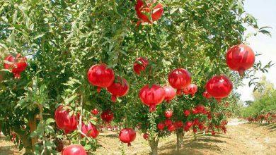 انار استان یزد